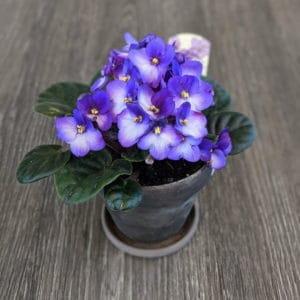 Potted Violet