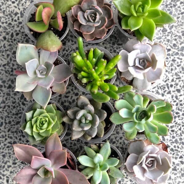 Assorted Succulents