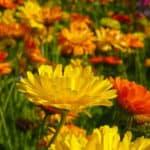Marigold - October Birth Month Flower