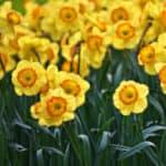 Daffodil - March Birth Month Flower