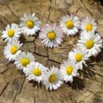 Daisy - April Birth Month Flower