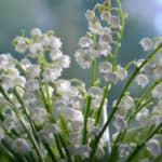 Lily of the Valley - May Birth Month Flower
