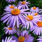 Aster - September Birth Month Flower