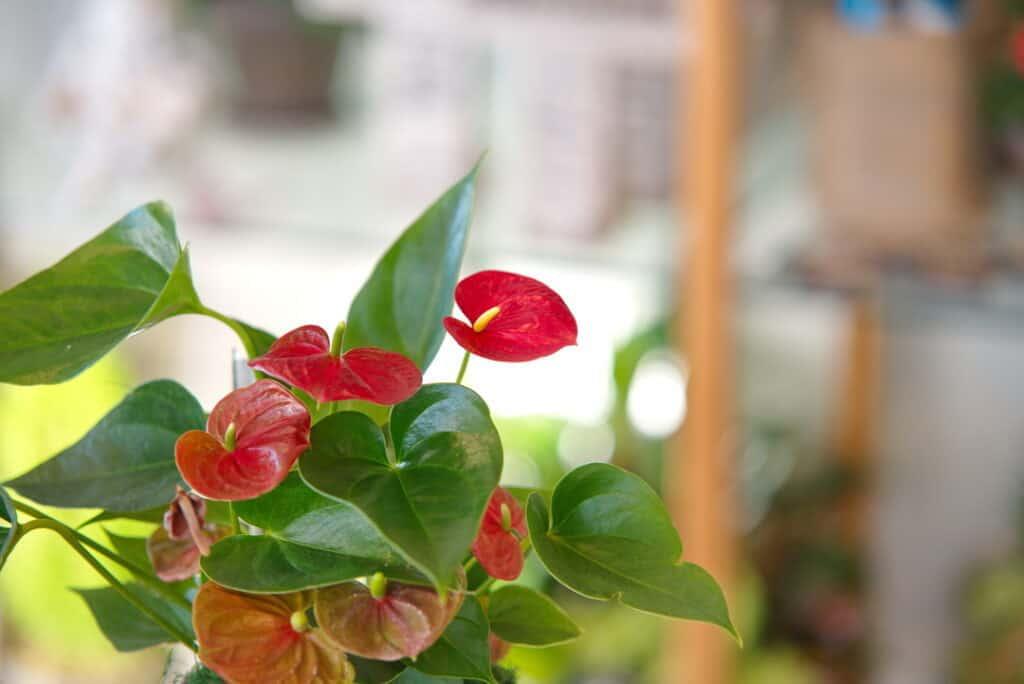 Anthurium House Plant